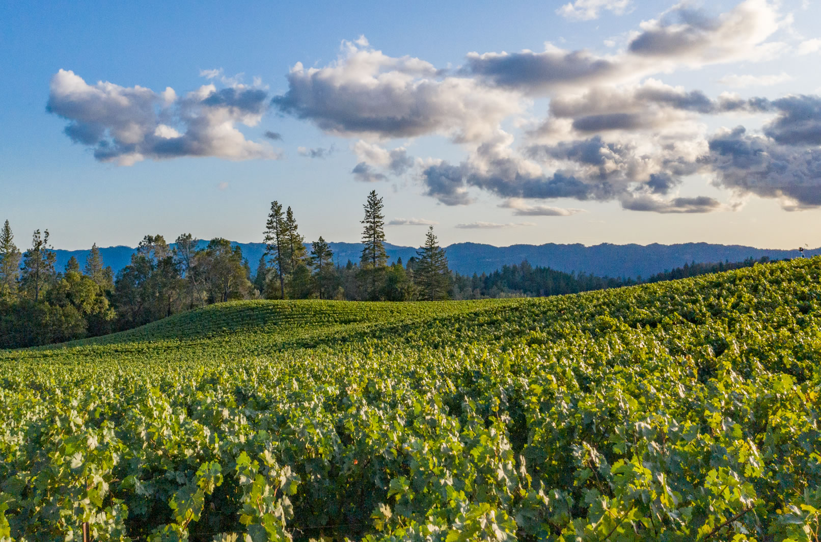 O'Shaughnessy Estate Winery's Howell Mountain Vineyard